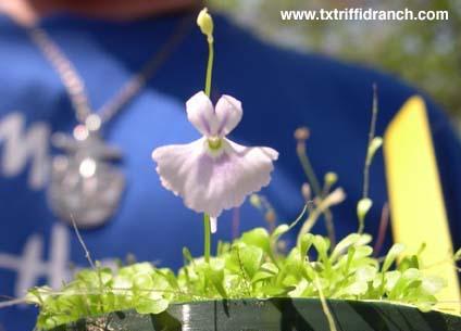 Utricularia sandersonii