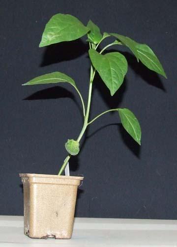 Raw stock for pepper bonsai