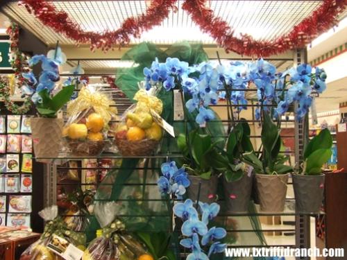 Blue Mystique orchids