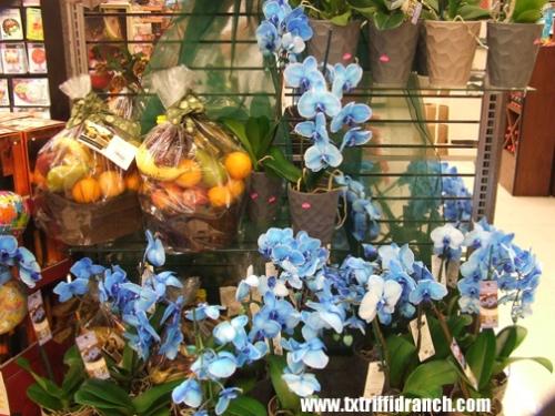 More Blue Mystique orchids