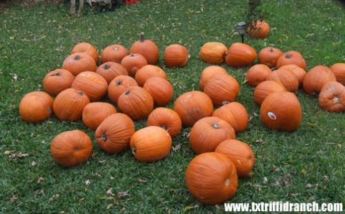 Raw pumpkins