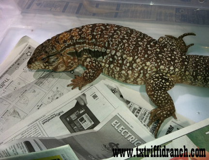 Ruby the red tegu