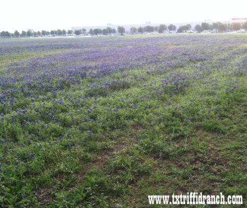 More fields of bluebonnets