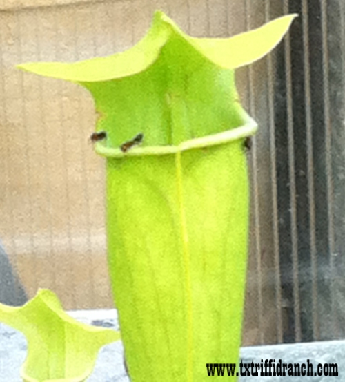 Sarracenia and prey (closeup)