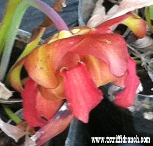 Sarracenia bloom (side)