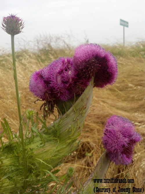 Cristate thistle blooms