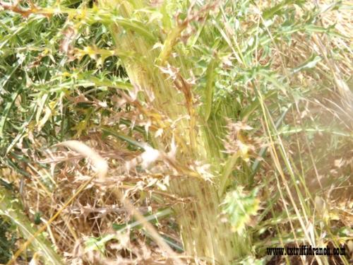 Cristate thistle stem