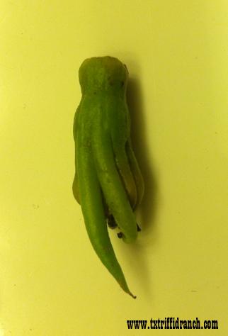 Immature Cthulhufruit