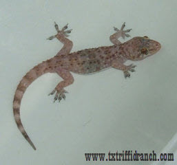 Hemidactylus turcicus (closeup)