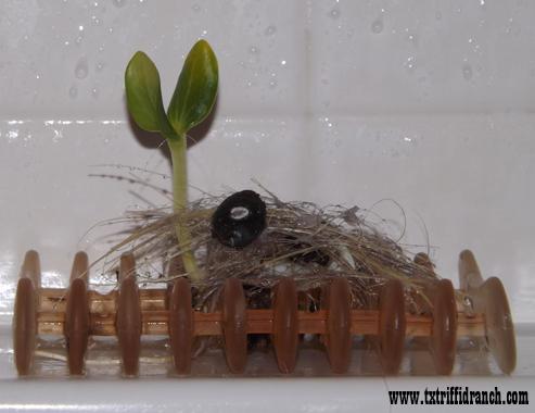 Luffa seedling on a soap drain