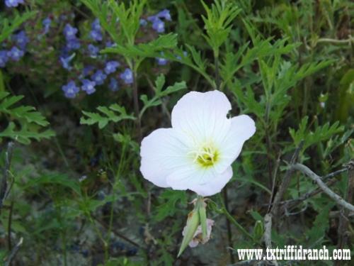 Oenothera speciosa, the pink evening primrose