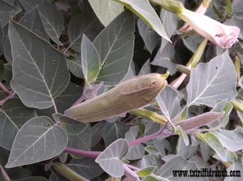 Datura bloom bud