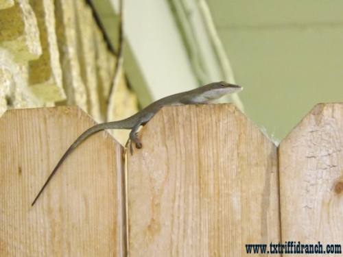 Carolina anole closeup
