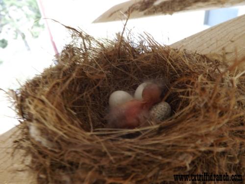 Gnatcatcher nest contents