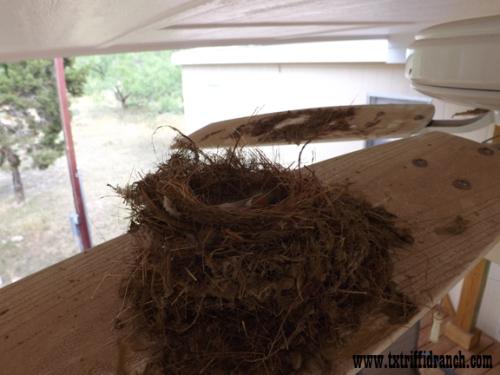 Gnatcatcher nest