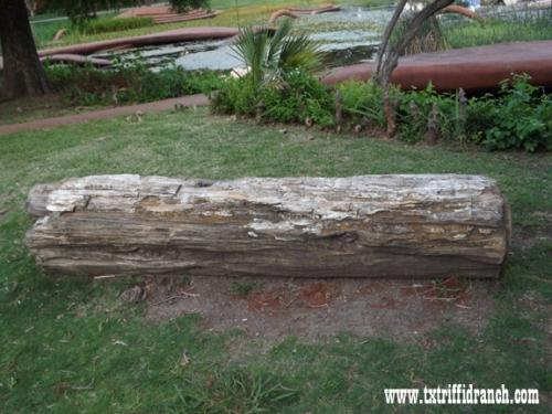 Petrified log at the Lagoon