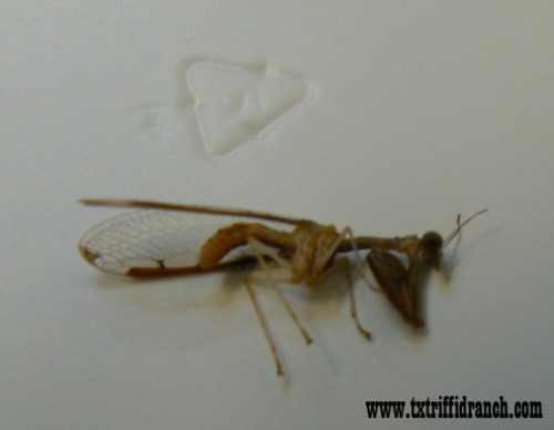Unknown mantid