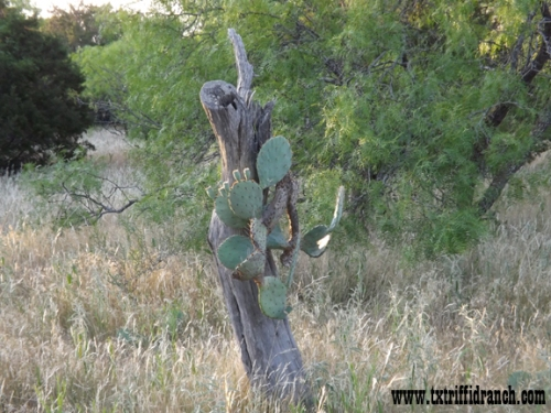 Opuntia in a dead tree