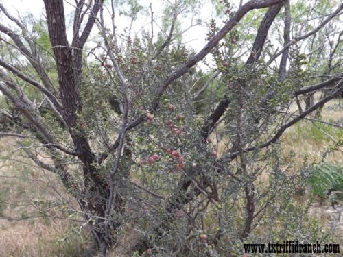 Opuntia leptocaulis