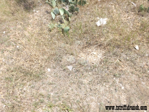 Spot the Horsecrippler Cactus 1
