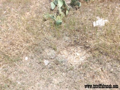 Spot the Horsecrippler Cactus 2