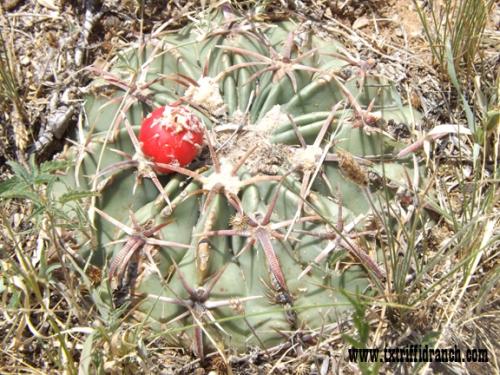 Spot the Horsecrippler Cactus 4