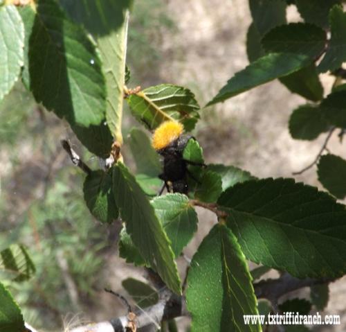 More velvet ant