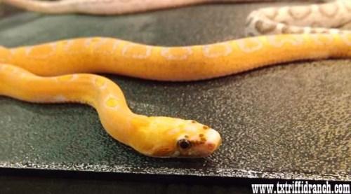 scaleless rat snake