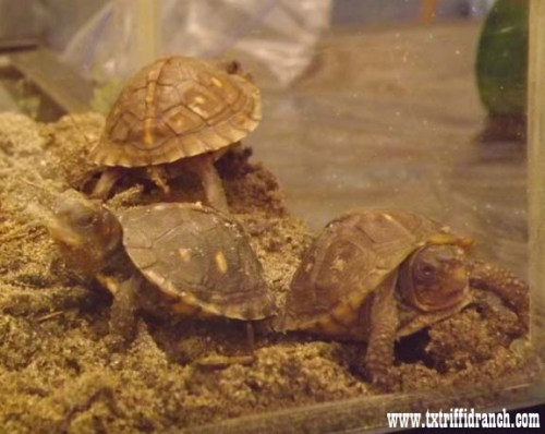 Box turtle hatchlings