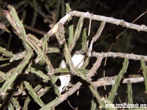 Cocoon in Opuntia leptocaulis