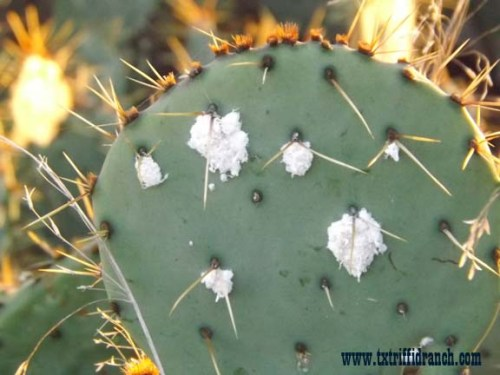 Cocineal bugs on Opuntia
