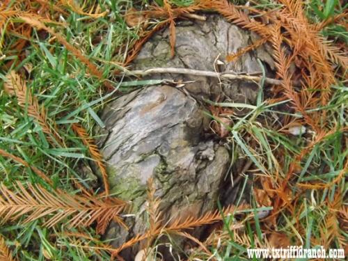 Cypress knee