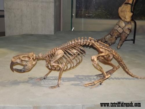 Castoroides skeleton