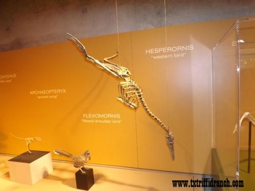 Hersperornis skeleton