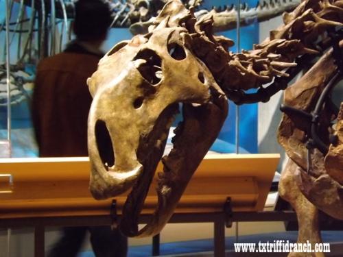 Tenontosaurus skull