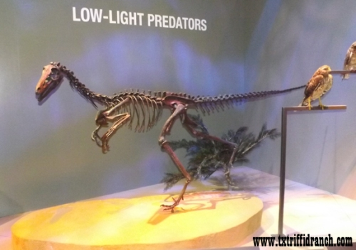 Troodon skeleton