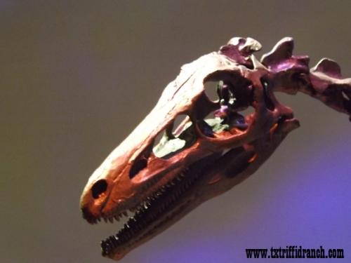 Troodon skull