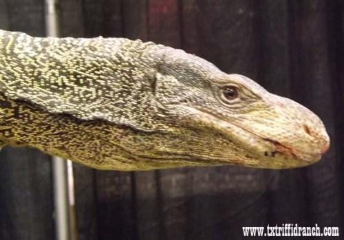 Crocodile monitor profile