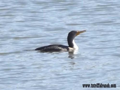 Solo cormorant