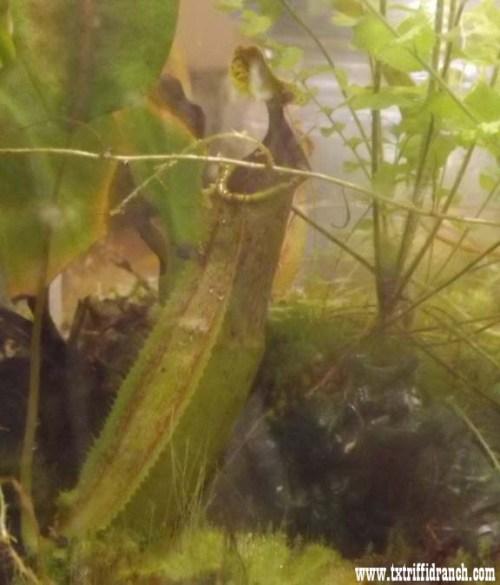 Nepenthes rafflesiana elongata