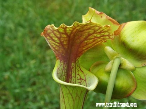 Sarracenia under visible light