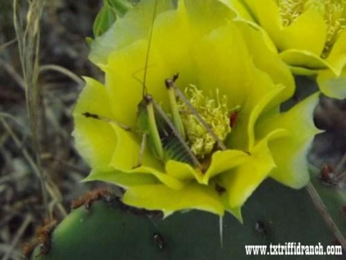 Opuntia with katydid