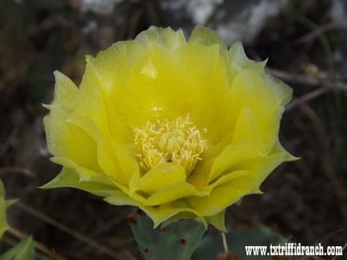 Opuntia bloom