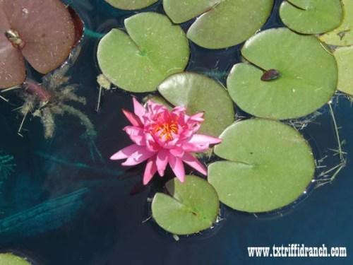 lilies_992013_4