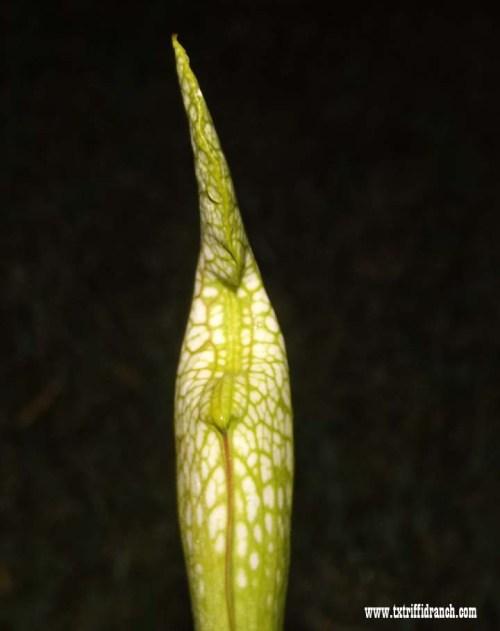 Sarracenia by moonlight