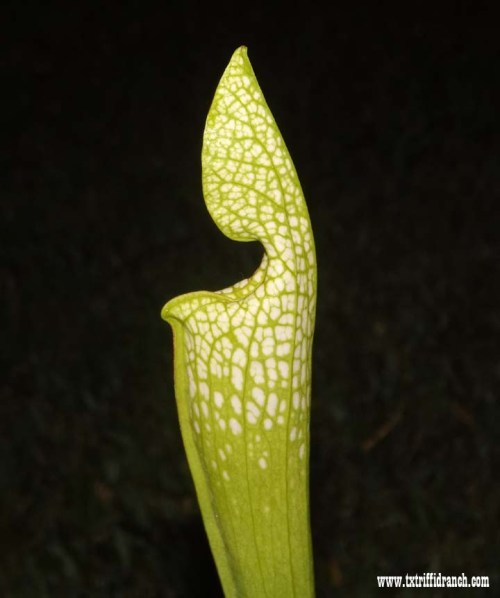 Sarracenia by moonlight