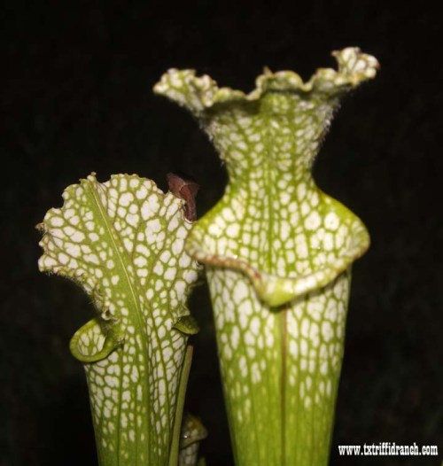 Sarracenia by night