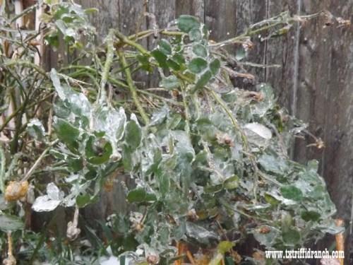 Rose Icepocalypse