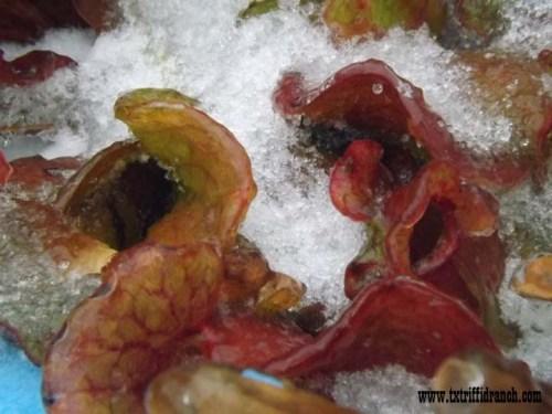 Iced Sarracenia