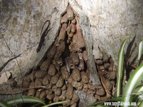 Brown anole on palm roots